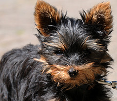 Cute - Cuter - ME! (Nephentes Phinena) Tags: dog puppy hund yorkshireterrier nikond300s