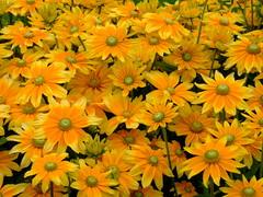 Rudbeckia hirta 'prairie sun' (yewchan) Tags: flowers flower nature colors beautiful beauty closeup garden flora colours gardening vibrant blossoms blooms lovely rudbeckia rudbeckiahirta greeneyedsusan greeneyedrudbeckia