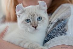 70D_2016_05_21_034582_C1-01 (mariolavoiee) Tags: cat chat highland lynx chaton kiten