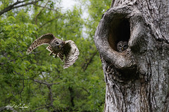 Off To Hunt (Alfred J. Lockwood Photography) Tags: morning tree bird nature spring texas nest wildlife flight owl barredowl colleyvillenaturecenter alfredjlockwood