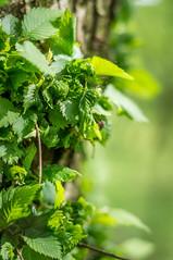 20160522-IMGP7258 (stankar) Tags: spring flora pentax bokeh kx 50mmf17