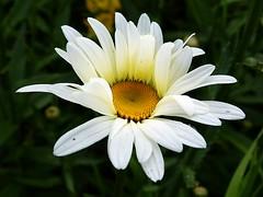 2016-06-25 daisy (3)f (april-mo) Tags: daisy marguerite whiteflower summer t flower fleur nature