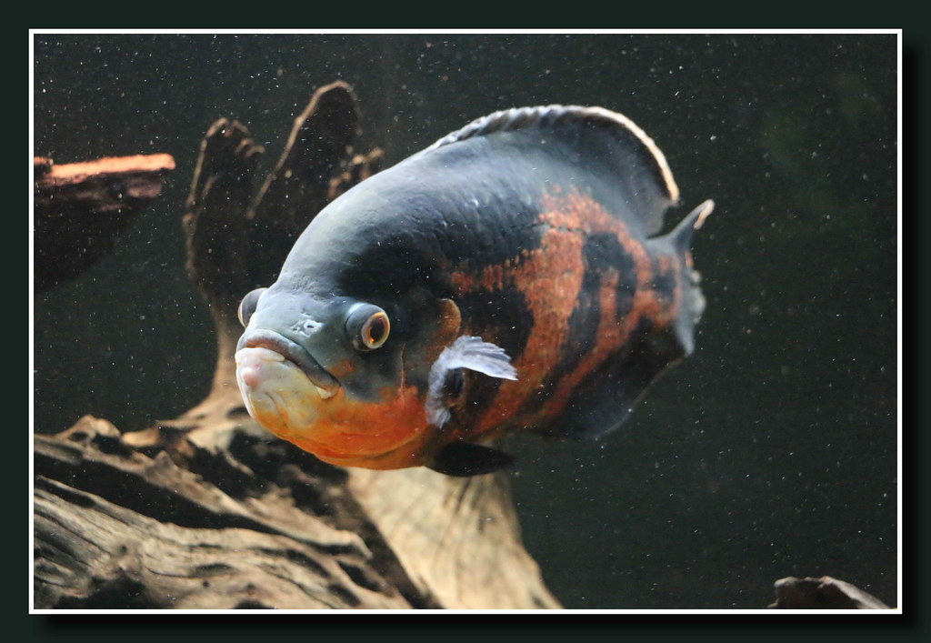 Aquarium in Wasserbillig (p_jp55 (Jean-Paul)) Tags: fish aquarium ...