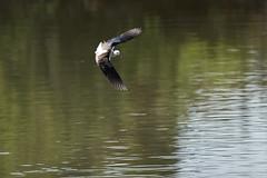 _DSC8777 (Carmen Coronado) Tags: naturaleza valencia fauna pjaros albufera sigma150500f563apodgos nikond750