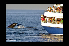 Whale Watch'10 (The Bop) Tags: seawater whale whales tail crowd boat ocean frame summer flukes