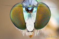 Fly (Karlgoro1) Tags: color macro eye field animal closeup canon bug insect eos fly is photo eyes nikon focus bright head background plan stack na 7d usm wd depth ef cfi 70200mm 025 105mm stacker 10x f4l zerene achromat macrolife