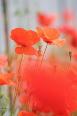 Poppy Haze (haberlea) Tags: red plant macro green nature fence haze poppies