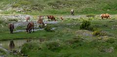 P1000218a (Franois Magne) Tags: montagne etang lanoux estany de lanos lac chevaux bai blond blonde poulain pyrnes