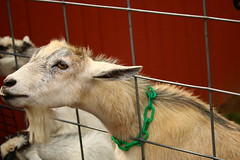 IMG_3775 (joyannmadd) Tags: amish horses intercourse pennsylvania kitchenkettlevillage farm animals lancaster coumty pa farms nature outdoors