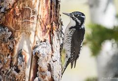 American Three-toed Woodpecker, Utah (ebuechley) Tags: bird utah wildlife birding