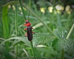 Black & Red Army (Bricheno) Tags: macro insect scotland beetle escocia szkocja renfrew schottland scozia cosse soldierbeetle esccia bricheno scoia