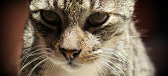Miradas (MaPeV) Tags: cats canon chats chat tabby kitty gatos powershot gato kawaii neko katze morris gatti felin gattoni gattini g16 tabbyspoted bellolindoguapetn