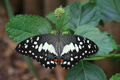 Chequered Swallowtail (Treflyn) Tags: butterfly zoo herefordshire swallowtail yat symonds chequered