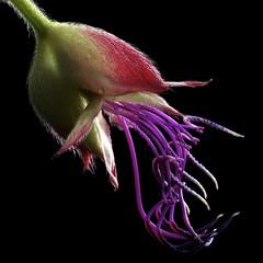 Princess Flower (Pixel Fusion) Tags: flower macro nature flora nikon princess d600