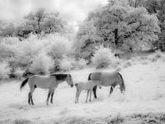 Horses (DomiKetu) Tags: horses blackandwhite bw horse white black landscape ir landscapes blackwhite panasonic infrared blackwhitephotos 850nm tz10
