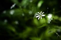 White and Green (Bullpics) Tags: light plant flower forest nikon ray dof bokeh outdoor sunbeam d7100