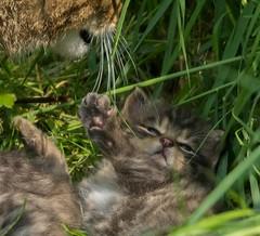 Please no more washing mum. (Chris Sweet 85) Tags: nature nikon kitten bwc scottishwildcat nikond7100