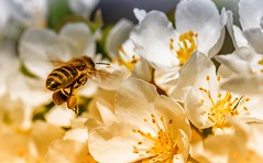 Bee at work (Delbrücker) Tags: macro insect spring outdoor bee makro insekt biene frühling nikkor105mm nikond610