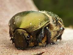 Rose Chafer..x (lisa@lethen) Tags: wood summer macro nature rose bug big wildlife chafer