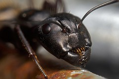 Black Ant Face (Douglas Heusser) Tags: macro nature up canon insect lens photography prime photo close wildlife ant tubes extension 24mm reversed arthropod kenko heusser