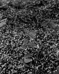 Beech Leaves (Stanley Burn Woods) (Jonathan Carr) Tags: bw white abstract black monochrome leaves rural woodland landscape bokeh 4x5 northeast largeformat beech 5x4 fomapan100 rodenstock toyo45a absraction