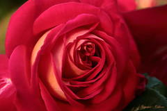 - Beautiful :) (shig.) Tags: red roses plants plant flower beautiful beauty silhouette rose canon eos outdoor   70d