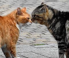 Catfight (louise peters) Tags: street red cats cat nose fight katten ears noses malecat rood catfight challenge kater oren neus straat cypers uitdaging neuzen katers gevecht kattengevecht
