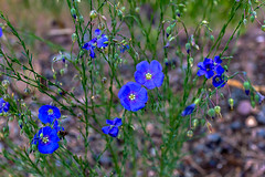 A Touch of Blue (Sonarsgs) Tags: flowers blue nature outdoors weeds trail