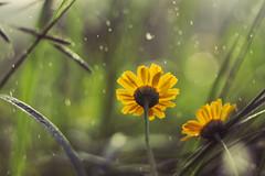 Daisy (Grishnkh) Tags: flowers flower macro nature rain photo bokeh m42 daisy fiore helios helios44