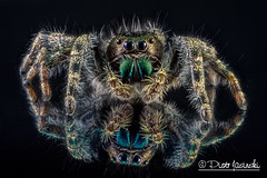 The Daring Jumping Spider - Phidippus audax (Karlgoro1) Tags: macro eye closeup canon bug insect eos spider photo jumping eyes focus stack 7d f28 audax daring the stacker mpe 65mm phidippus zerene macrolife