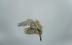 Heron Nation 06.25.2016.06 (nwalthall) Tags: egrets sanantoinio