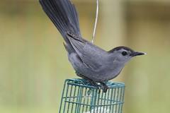 backyard Catbird ~ HBW! (karma (Karen)) Tags: baltimore maryland home backyard birds catbird dof bokeh bokehwednesdays hbw