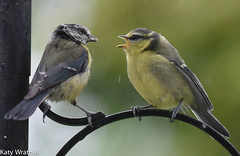 Do I know You? (Katy Wrathall) Tags: 2016 bluetit eastriding eastyorkshire england june summer baby birds feeders garden 30dayswild