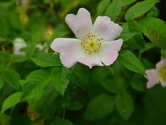 Dog Rose (alderney boy) Tags: pink green rose leaf petal stamen pollen dogrose anthers