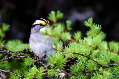 White-throated Sparrow, Sod Farm Northern Pond Road (frank.king2014) Tags: ca canada whitethroatedsparrow baybulls newfoundlandandlabrador
