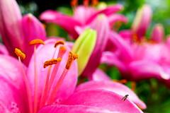pink (nelescholten) Tags: pink summer flower macro nature garden lilies dreams bud