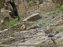 Chukar Partridge (Alectoris chukar) (gilgit2) Tags: pakistan birds fauna canon geotagged wings wildlife feathers tags location species tamron category avifauna chitral kpk alectorischukar imranshah canoneos7dmarkii chukarpartridgealectorischukar tamronsp150600mmf563divcusd gilgit2 rondur