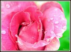_JVA6844 (mrjean.eu) Tags: park pink flowers blue roses white france flower macro green nature fleur rose yellow fleurs garden nikon jardin botanic lorraine botanique parc metz 105mmf28