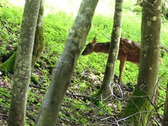 Incertitude (peupleloup) Tags: france t vercors faune biche
