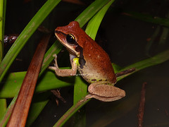 Green-thighed Frog (Frogging Around) Tags: female pomona sunshinecoast seq greenthighedfrog litoriabrevipalmata