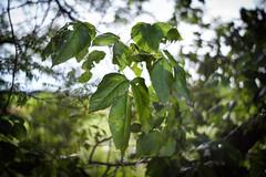 poison ivy (robust!) @f/1.7 (severalsnakes) Tags: plant leaves leaf exercise pentax path walk trail missouri poisonivy sfcc ks2 sedalia statefaircommunitycollege vivitar5017 saraspaedy