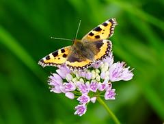 Sunshine and Small Tortoiseshell (SteveJM2009) Tags: uk colour june butterfly focus dof bokeh dorset markings smalltortoiseshell stevemaskell kingstonlacy 2016