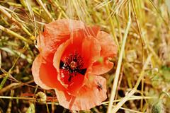 elizabeth_raccoon_48 (elizabeth_raccoon) Tags: summer russia flower poppy field fly nature warm light