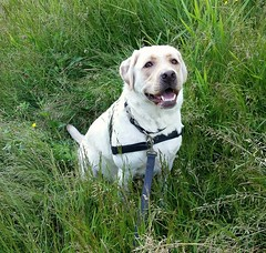 Gracie is a happy girl (walneylad) Tags: summer dog pet cute june puppy gracie lab labrador canine labradorretriever