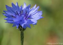 Korenbloem (LadyLove1967) Tags: voorjaar denhaag zwanen nijlgansje bloemen