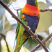 Rainbow Lorikeet [184/366]