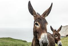 Donkeys in the rain (michael_hamburg69) Tags: cliff france frankreich donkey cliffs normandie normandy tretat esel steilkste feuerstein klippen kreide seinemaritime alabasterkste