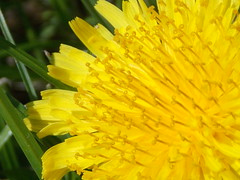 May 2013 278 (Claires lluniau) Tags: flower macro nature dendelion