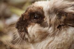 Beard guy (Porfidax) Tags: life brown white black color rabbit eye nature animal fur nikon bokeh sigma 70300 d5000 nikonclubit