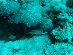 Sharm el Sheik (Federico Scorzoni) Tags: shark el jackson laguna reef sharm sheik alternatives jolanda tiran amphoras